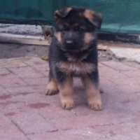 1 Quality Show Line German Shepherd Female Puppy