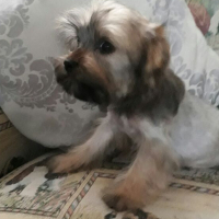 Male Yorkie Puppy Available