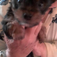 Real Yorkie Puppies for sale