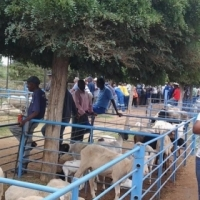 1000 goats and sheep on auction 9 August in Hartswater