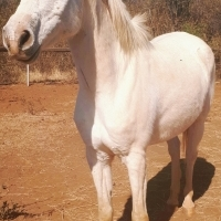 Part bred Arab Mare