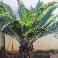 Large Cycas Revoluta Plants