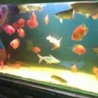 gold or orange goldfish!