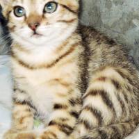 Bengal Katjies
