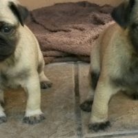 MALE FAWN PUG PUPPIES FOR SALE