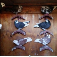 Roller Pigeons Young Birds for sale