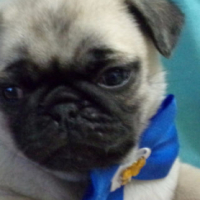 Pure Pug Puppies For Sale