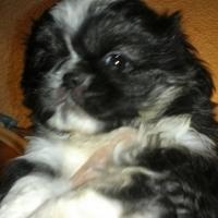 Pekenese puppies for sale