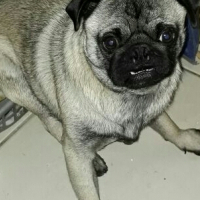 Missing Pug