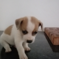 PURE BREED JACK RUSSELL PUPPY