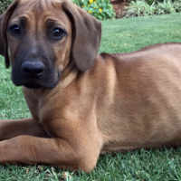 Rhodesian Ridgeback thoroughbred puppies