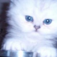 chinchilla persian kitty