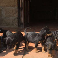 Dobermann/English Bloodhound Bluetick Cross Puppies For Sale