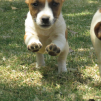 Super cute puppy Jack Russel wants to live with you.