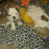 Gorgeous KUSA Reg English Bulldog puppies available and ready to go!