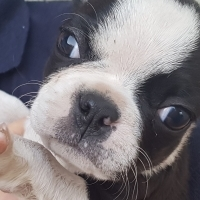 Pure Bred Boston Terrier Female Puppies