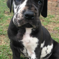 Pedigree Great Dane puppies