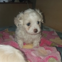Mini Maltese Female Puppies