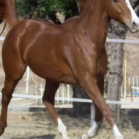 Stunning and well bred tb gelding