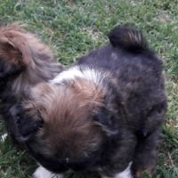 Pekangese puppies for sale 0794942273