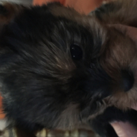 Yorkshire terrier male pup