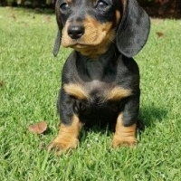 Miniature Dachshund (worshondjies / worsies) Puppies for sale