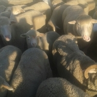 SHEEP LIVE FOR SALE