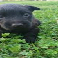 Purebred Scottish Terrier Puppies available