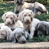 Pure bred Weimaraner puppies