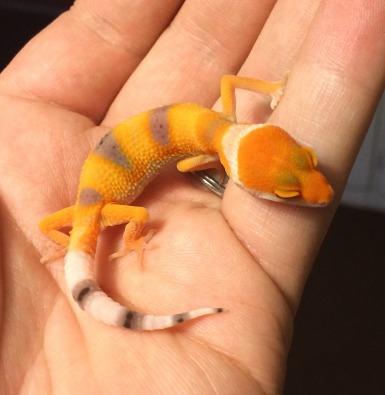 Leopard Gecko Morphs For Sale | Junk Mail