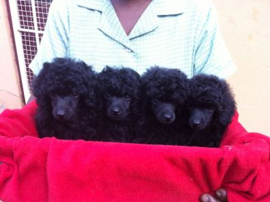 Kusa Registered Toy French Poodle Puppies
