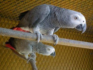 Breeding pair of African Grey parrots for sale   Junk Mail