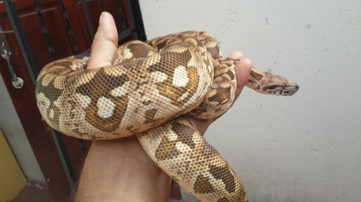 Ball python morphs for sale | Junk Mail