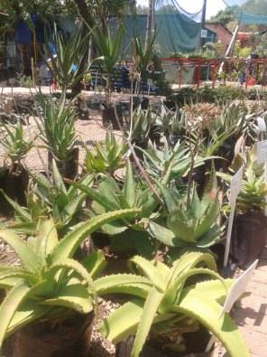 ALOES, SUCCULENTS AND CACTI