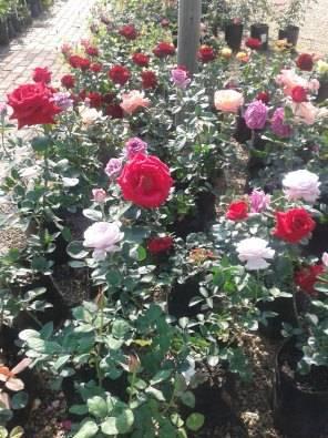 Roses in bags