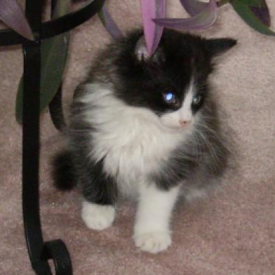 Tuxedo Ragdoll kittens | Junk Mail