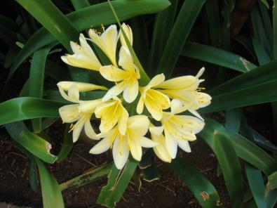 PLANTUITVERKOPING;CLIVIAS R25/R35.