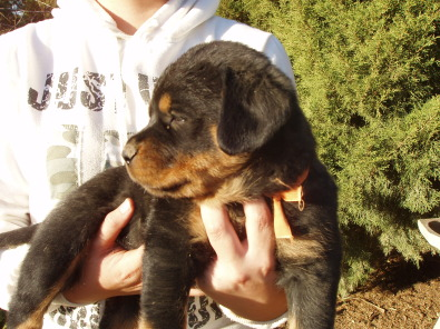 Fat, huge and gorgeous puppies! Rottweilers