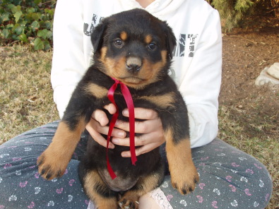 Female Rottweiler Puppies For Sale Junk Mail
