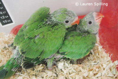 Hand Reared Baby Budgies For Sale | Junk Mail