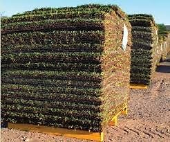 AFRICAN INSTANT LAWNS