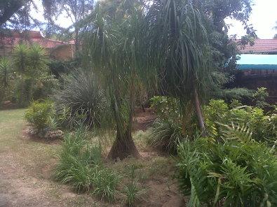 Pony Tail Palms for sale