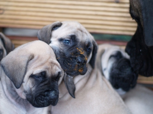 Pet English Mast Puppies