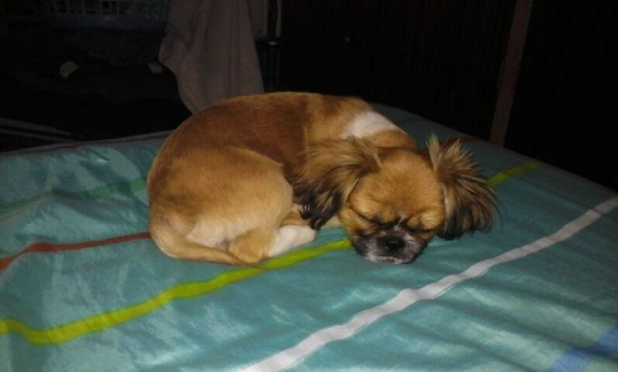 Pekingese male puppies for Sale