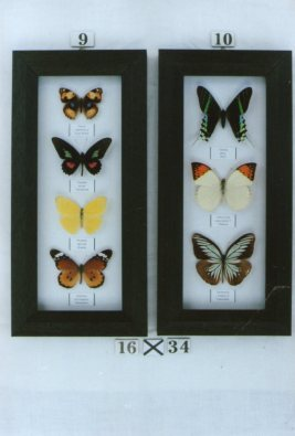 Real Framed Butterflies (each)