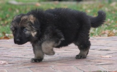 Extremely Beautiful German Shepherd puppies