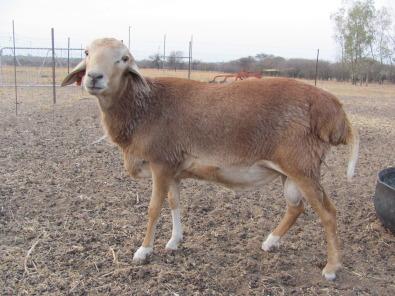 Pedi sheep for sale in pretoria