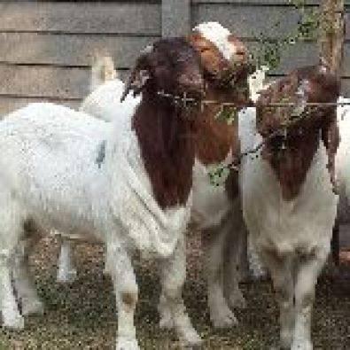 Goat Api