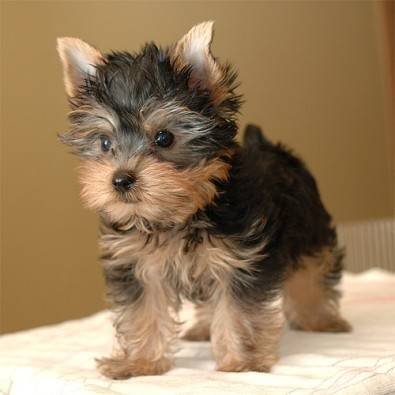 Teacup and Pocket size Yorkie Pups males & females