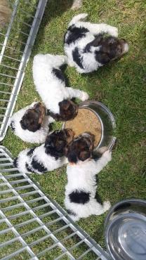 Wirehair terriers